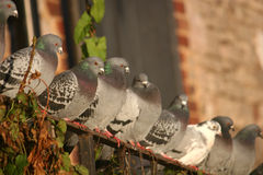Pigeons Royalty Free Stock Photography
