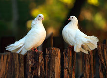 Pigeons. Two pigeons relax on fence outdoor Royalty Free Stock Images