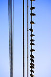 Pigeons. A string of pigeons sitting on electricity wires Royalty Free Stock Photography