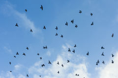 Pigeons. Many pigeons flying in the sky with some white clouds in background Stock Photos
