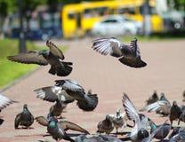 Pigeons Photo libre de droits