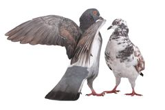 Pigeons Photos stock