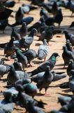 Pigeons. In Durbar Square in Kathmandu Royalty Free Stock Photography