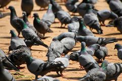 Pigeons. In Durbar Square in Kathmandu Royalty Free Stock Photo