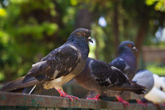 pigeons Photographie stock