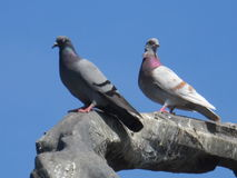 pigeons Photos libres de droits