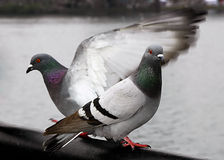 Pigeons Stock Photos