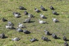 pigeons Image libre de droits