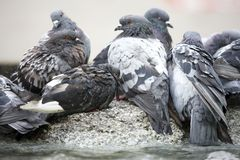 Free Pigeons Royalty Free Stock Photography - 6393907