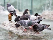 Free Pigeons Stock Photos - 6961133