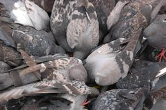 Pigeons. Large numbers of pigeons on a square Royalty Free Stock Images