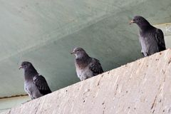 3 pigeons Images stock