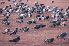 pigeons Photographie stock