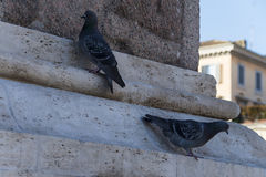 pigeons Image stock