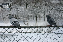Pigeons. Birds on fence Royalty Free Stock Photo