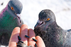 Pigeons alimentants de main Image stock