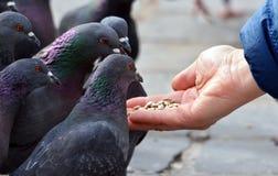 Pigeons alimentants de main Images stock