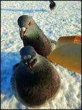 Pigeons alimentants de main Photos libres de droits