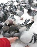 pigeons alimentants l'hiver Photos stock