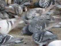 Pigeons animals of class Aves birds. Pigeons animals of Phylum Chordata, Clade Ornithurae, Class Aves Birds stock photos