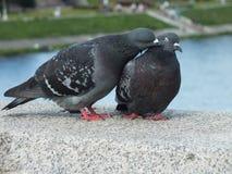 The pigeons stock photos