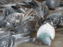 Pigeons animals of class Aves birds. Pigeons animals of Phylum Chordata, Clade Ornithurae, Class Aves Birds stock image