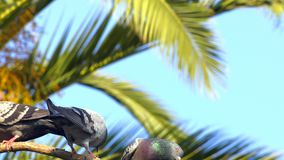 Pigeons animaux d'oiseaux sur l'arbre clips vidéos