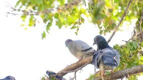 Pigeons animaux d'oiseaux sur l'arbre banque de vidéos