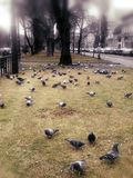 Pigeons in Arad Royalty Free Stock Photography