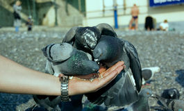 Pigeons on the arm Royalty Free Stock Image