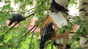 Pigeons around bird feeders stock video footage