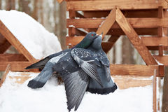 Pigeons around feeders in winter Royalty Free Stock Photo