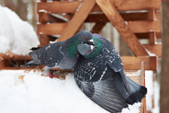 Pigeons around feeders in winter Stock Images