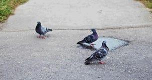 Pigeons on asphalt stock video