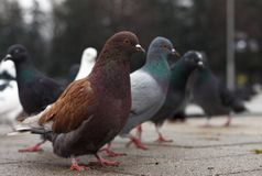Pigeons on the asphalt in the park in the cold autumn. Birds look at you with interest stock photography