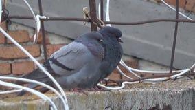 Pigeons au bord du toit de la maison parmi les fils satellites clips vidéos