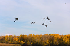 Pigeons in autumn Royalty Free Stock Photography