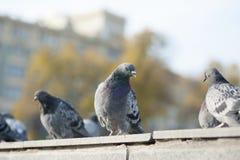 Pigeons in autumn city Stock Image