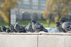 Pigeons in autumn city Stock Photography