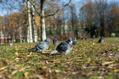 Pigeons in autumn park on the grass. Sunny day in autumn forest Stock Images