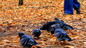 Pigeons in autumn Park Royalty Free Stock Photography