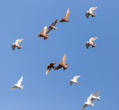 Pigeons on a background of blue sky Royalty Free Stock Images