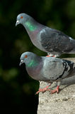Pigeons on a balcony. Two pigeons on a balcony Stock Photography