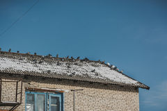 Pigeons bask. Pigeons on the roof basking in the sun Royalty Free Stock Photo