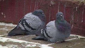Pigeons on pavement stock video