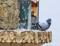Pigeons bathe in the fountain on the Nicolae Balcrscu  street in Sibiu city in Romania Royalty Free Stock Photo