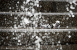 Pigeons bathe in the fountain. Summer 2015, heat Stock Images