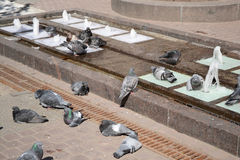 Pigeons bathe in the fountain. Stock Photo