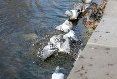 Pigeons bathe in the lake Royalty Free Stock Images