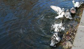 Pigeons bathe in the lake Royalty Free Stock Photo
